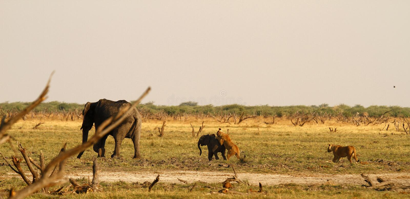 Löwen, die Babyelefanten jagen lizenzfreie stockfotografie