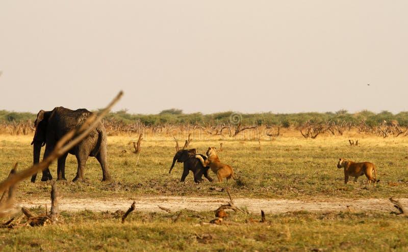 Löwen, die Babyelefanten jagen stockbild