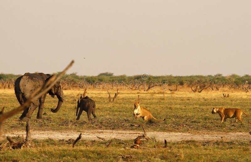 Löwen, die Babyelefanten jagen stockfotos
