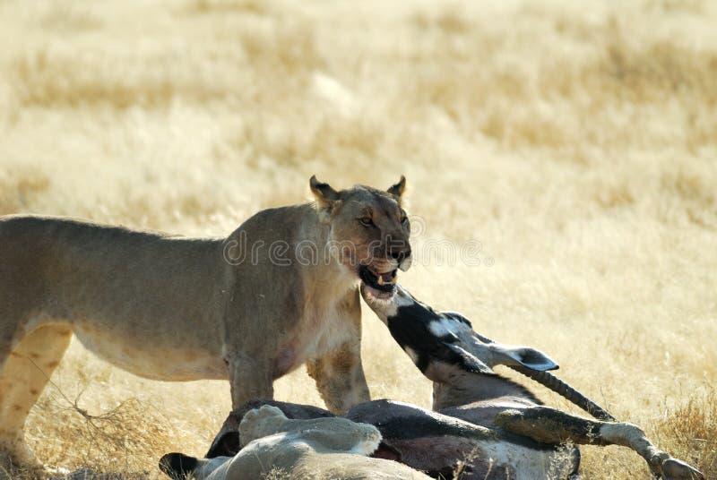 Löwen, die ein Opfer, Nationalpark Etosha, Namibia essen lizenzfreies stockfoto