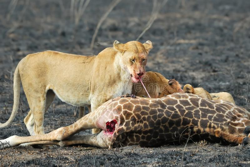 Löwen, die ein Opfer, Nationalpark Serengeti, Tansania essen lizenzfreie stockfotos