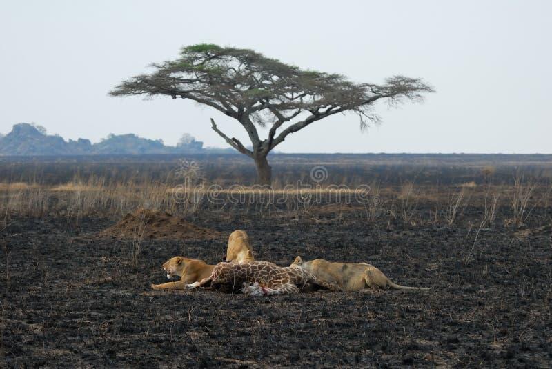 Löwen, die ein Opfer, Nationalpark Serengeti, Tansania essen lizenzfreie stockbilder