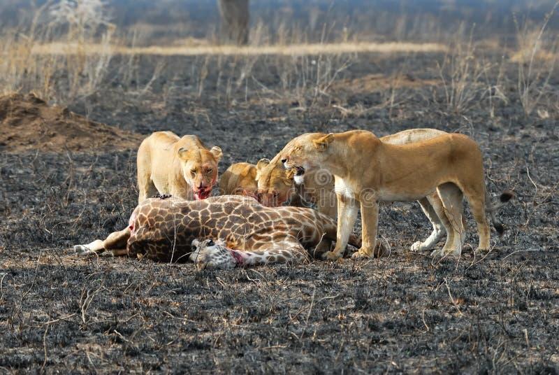 Löwen, die ein Opfer, Nationalpark Serengeti, Tansania essen stockfoto