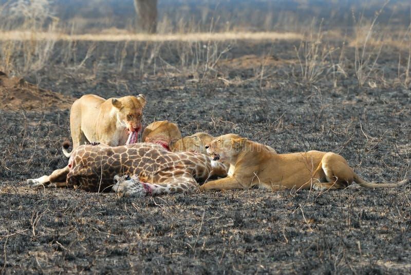 Löwen, die ein Opfer, Nationalpark Serengeti, Tansania essen stockbilder