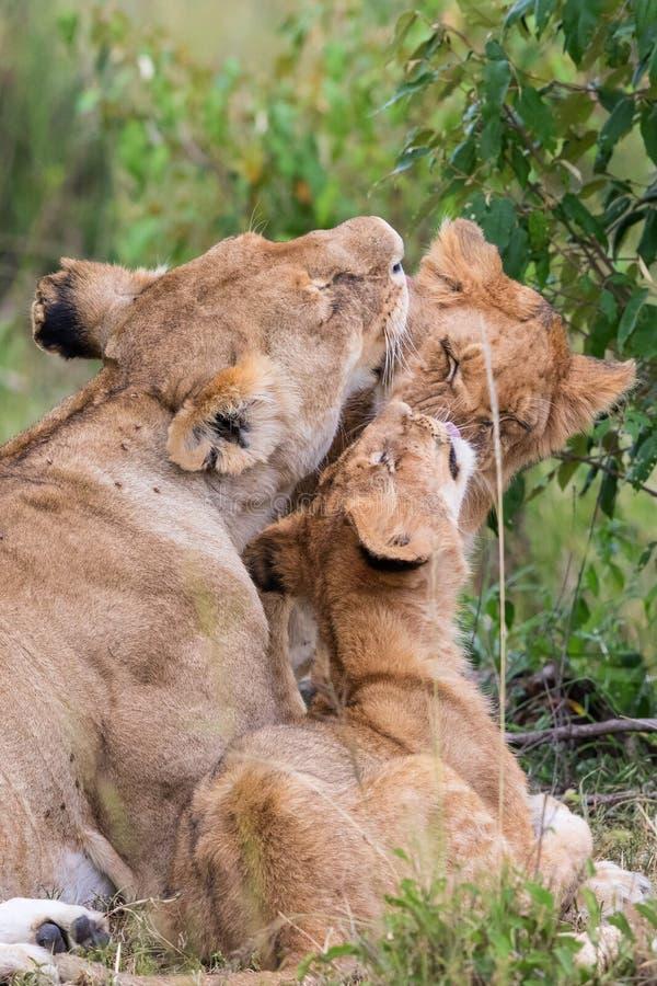 Löwen, die sich amüsieren stockfotos