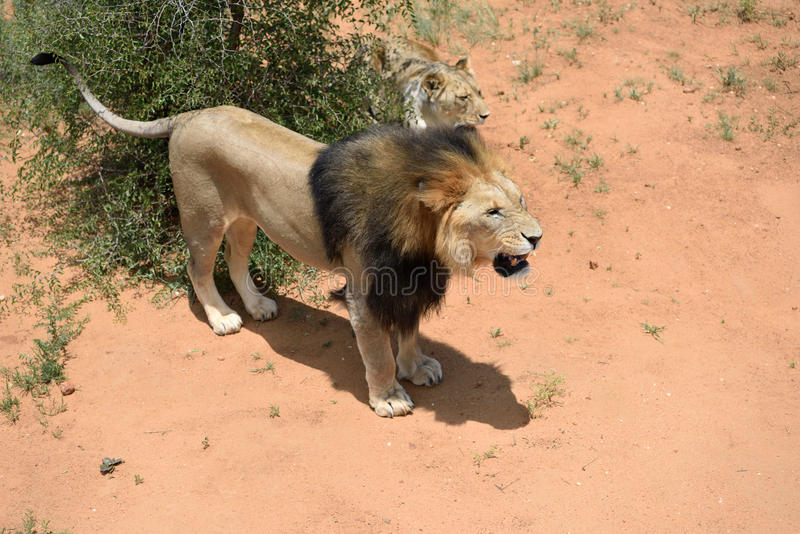 Löwen im bushveld, Namibia stockfotos