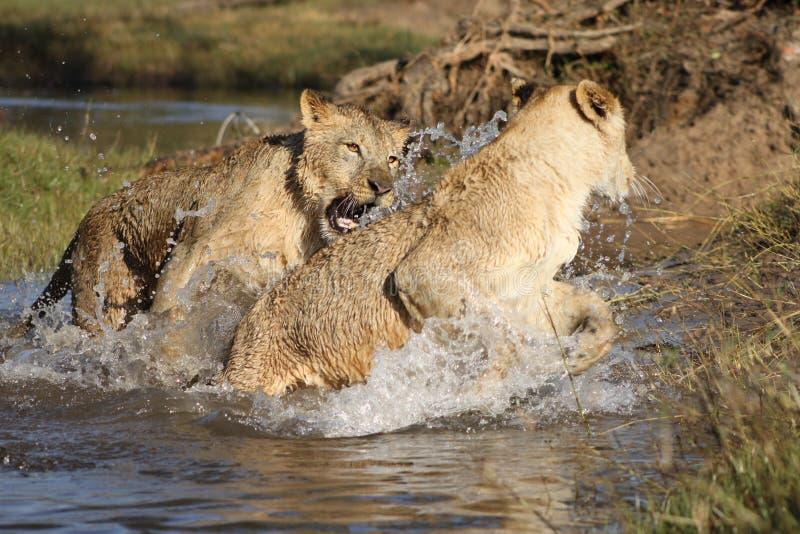 Löwen im Sambia lizenzfreie stockfotos