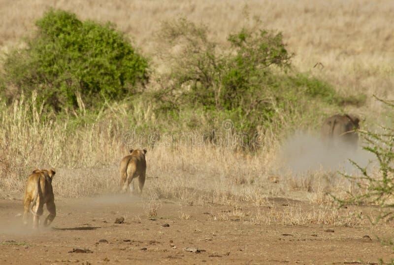 Löwen im Serengeti lizenzfreies stockbild