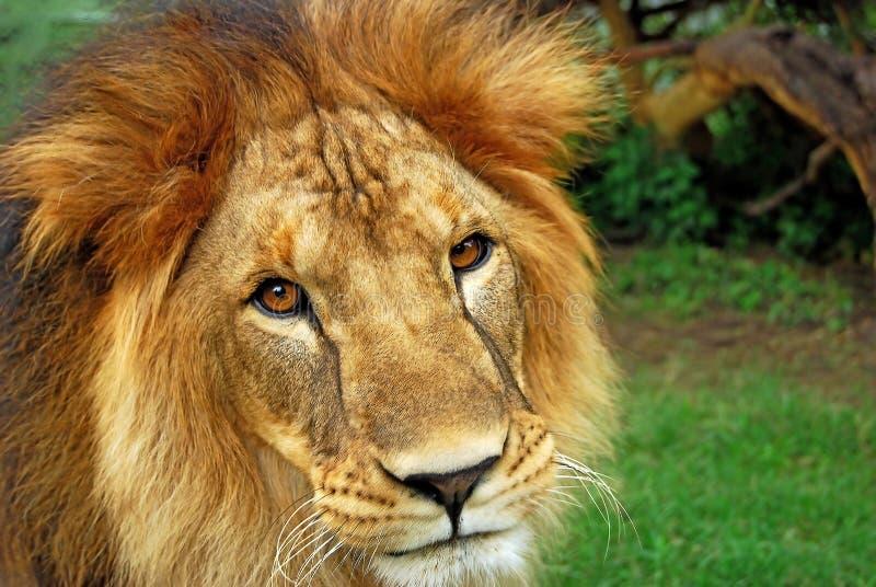 Löwenahaufnahme lizenzfreie stockbilder