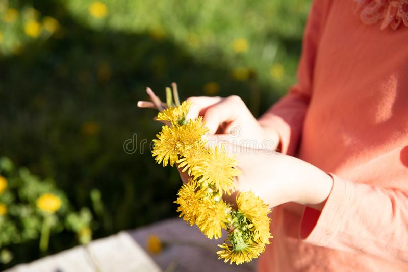 Löwenzahn in den Händen des Mädchens lizenzfreie stockfotos