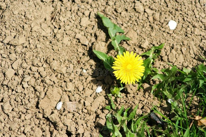 Löwenzahn, der im trockenen Boden wächst stockbilder