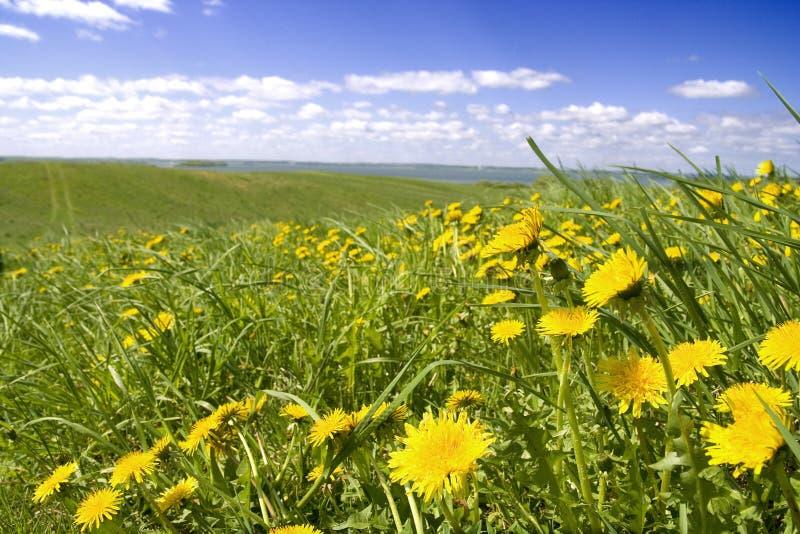 Löwenzahn, Gras und Himmel lizenzfreie stockfotos