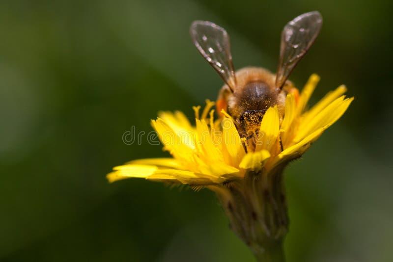 Löwenzahn mit Biene lizenzfreies stockbild