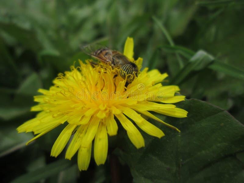 Löwenzahn mit einer Biene 1 lizenzfreie stockfotos