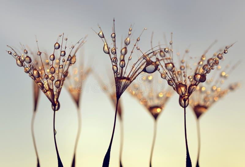 Löwenzahn-Samen mit den Morgentropfen des Taus stockbild