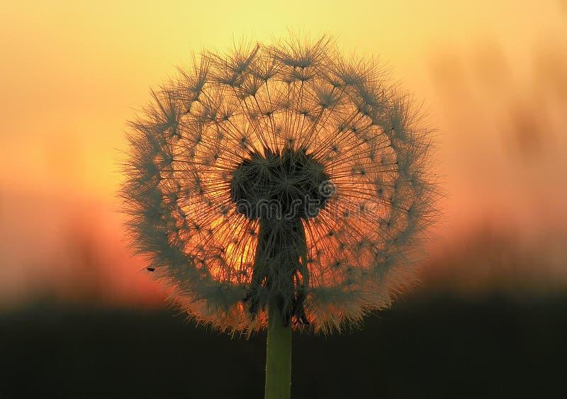 Löwenzahn-Startwert- für Zufallsgeneratorkopf am Sonnenuntergang stockbild