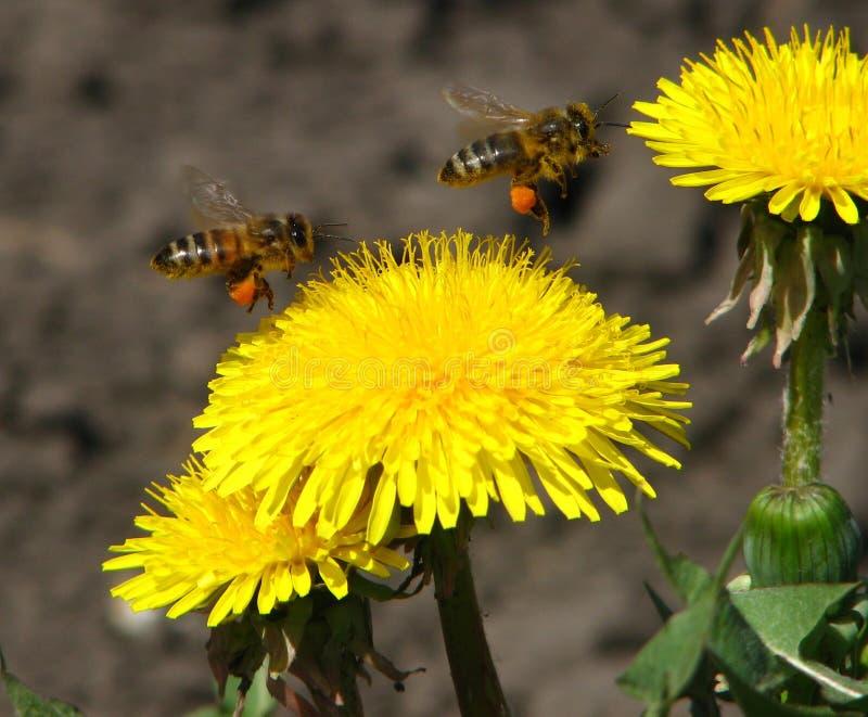 Löwenzahn und Bienen stockfotografie