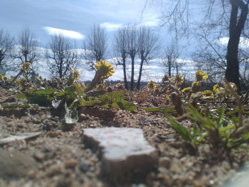 Löwenzahn und Stein lizenzfreies stockbild