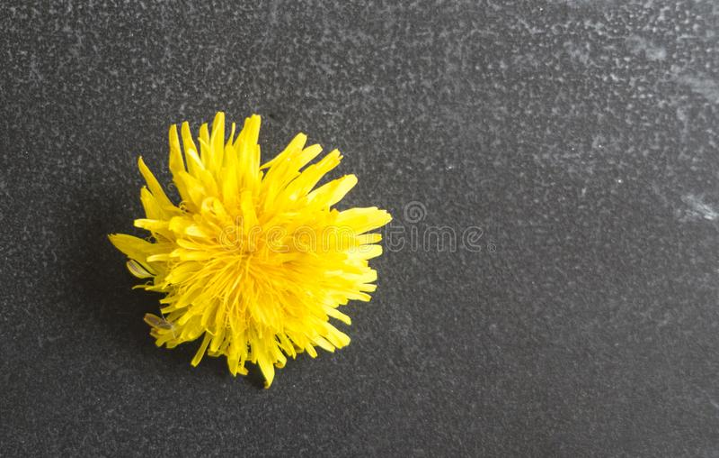 Löwenzahnblume auf schwarzem Hintergrund auf Kreidebrett lizenzfreie stockbilder