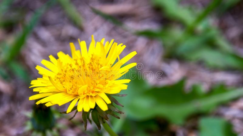 Löwenzahnblume und einige Blätter lizenzfreie stockfotos