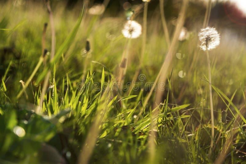 Löwenzahnblumen auf einem grünen Gras bei Sonnenuntergang, Abschluss oben, Makrophotographie stockbild