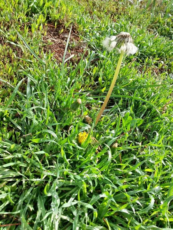 Löwenzahnblumen in der Graslandschaft stockfoto