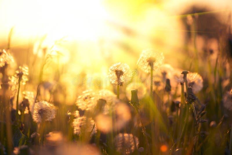Löwenzahnfeld über Sonnenunterganghintergrund lizenzfreies stockbild