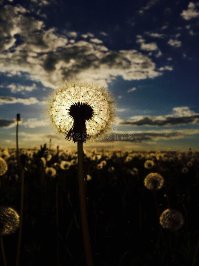 Löwenzahnfeld auf dem Sonnenuntergang lizenzfreies stockbild