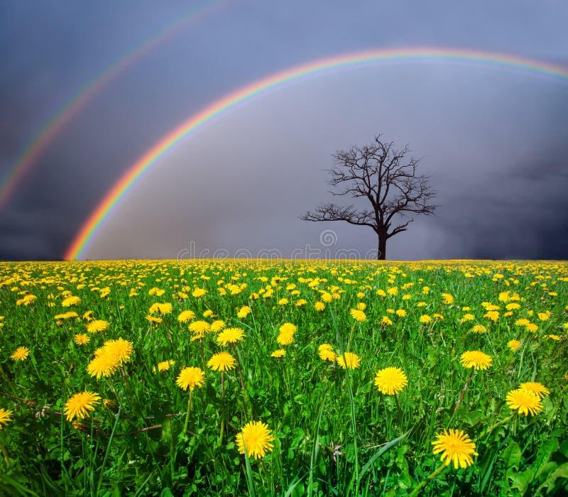 Löwenzahnfeld und toter Baum unter bewölktem Himmel mit Regenbogen stockfotografie
