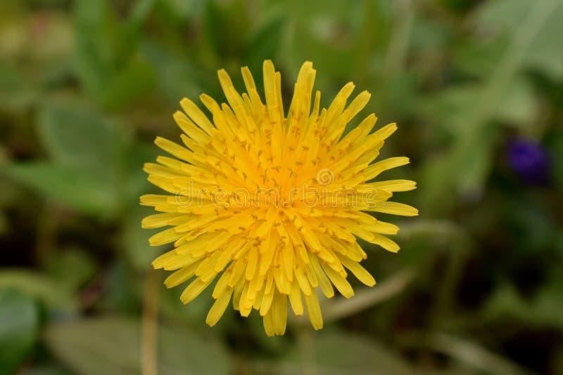 Löwenzahnmakroabschluß oben Taraxacum ist eine große Klasse von Blütenpflanzen im Familie Asteraceae, der aus Spezies Commo beste stockbilder