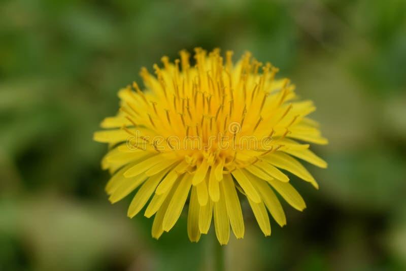 Löwenzahnmakroabschluß oben Taraxacum ist eine große Klasse von Blütenpflanzen im Familie Asteraceae, der aus Spezies Commo beste lizenzfreie stockbilder