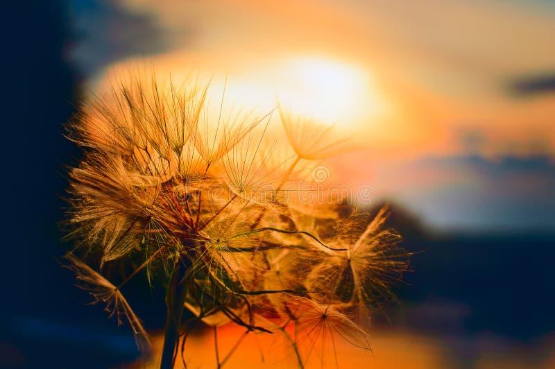 Löwenzahnsamen in der goldenen Sonnenlichtsonnenuntergangnahaufnahme stockfotografie