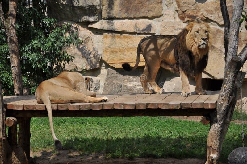 Löwepaare lizenzfreie stockbilder
