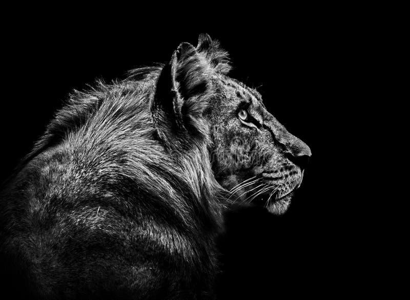 Löweporträt in Schwarzweiss stockfoto