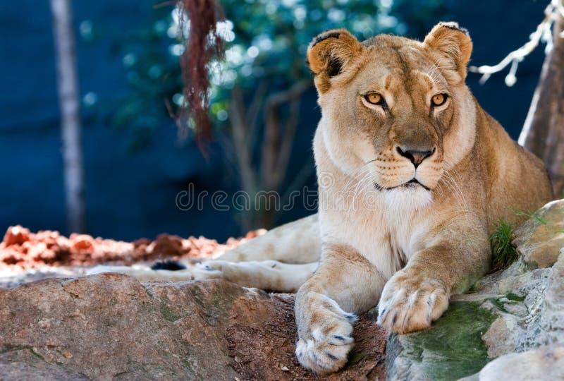 Löwin lizenzfreies stockbild