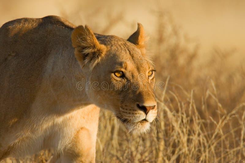 Löwin stockbilder