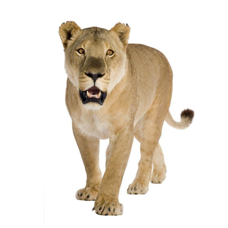 Löwin (8 Jahre) - Panthera Löwe stockbild