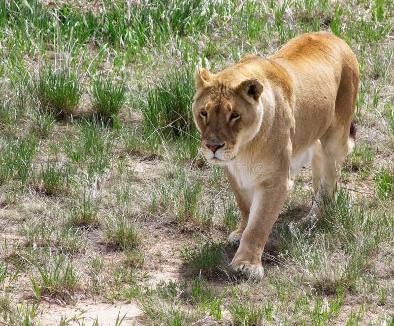 Löwin auf dem Prowl in den Wiesen lizenzfreie stockfotografie