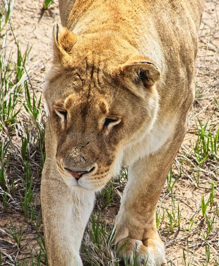 Löwin auf dem Prowl in den Wiesen stockfoto