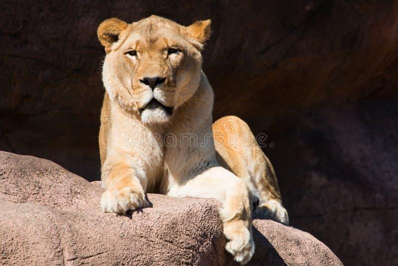 Löwin auf Felsen lizenzfreies stockfoto