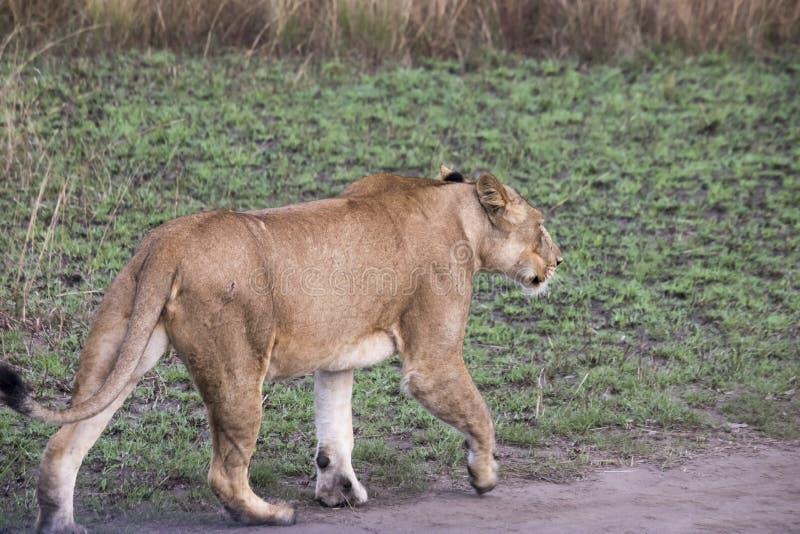 Löwin auf Schotterweg Königin Elizabeth National Park, Uganda lizenzfreie stockfotografie