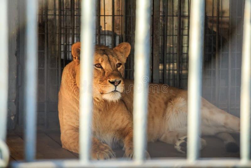 Löwin in der Gefangenschaft im Zoo hinter Gittern stockfoto
