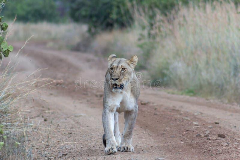 Löwin, die auf einen Schotterweg geht stockfotografie