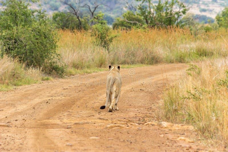 Löwin, die auf einen Schotterweg geht lizenzfreie stockfotografie