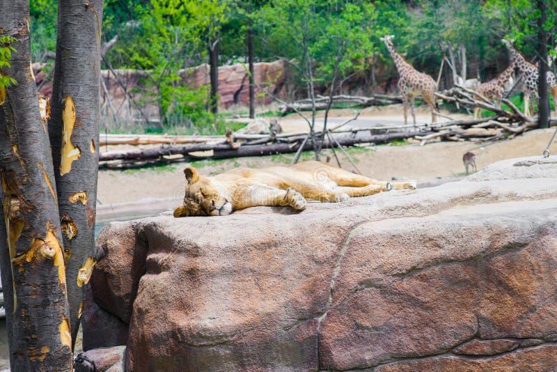 Löwin, die auf Felsen mit Giraffen im Hintergrund an überhaupt schläft lizenzfreie stockbilder