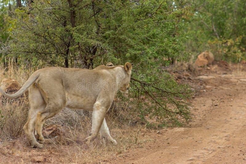 Löwin, die aus dem Busch auf einen Schotterweg heraus geht lizenzfreie stockfotos