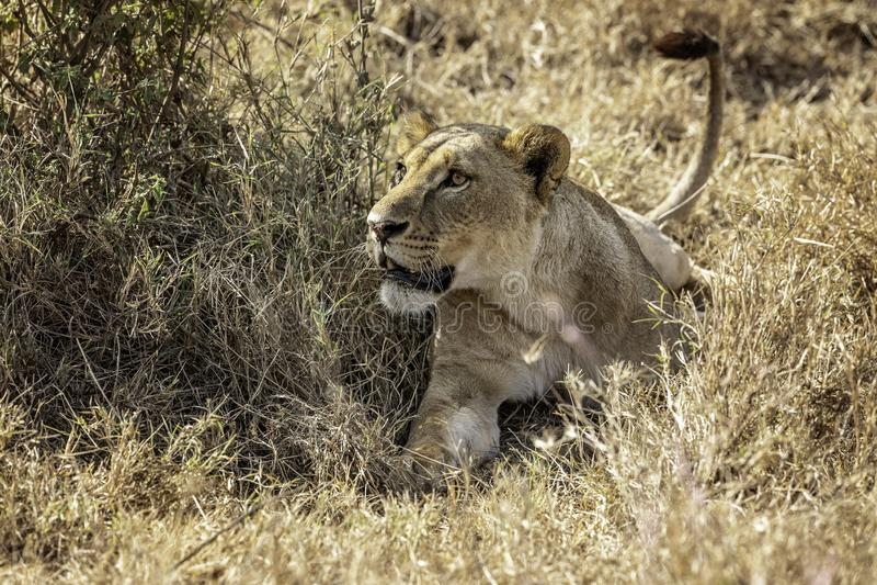 Löwin, die in das Gras auf Alarm legt lizenzfreies stockbild