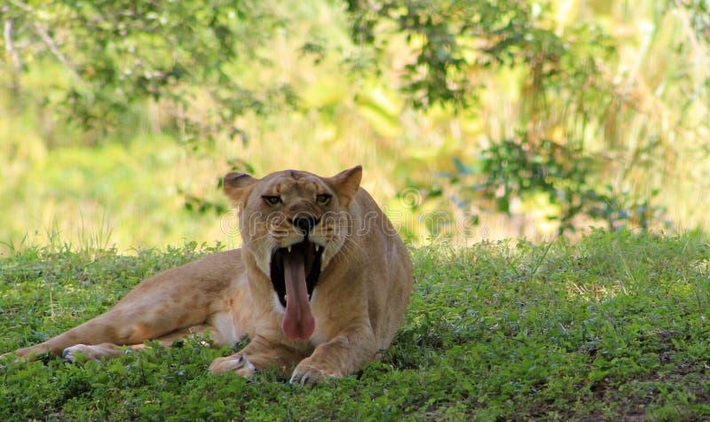 Löwin, die ihre gähnende Zunge zeigt stockbilder