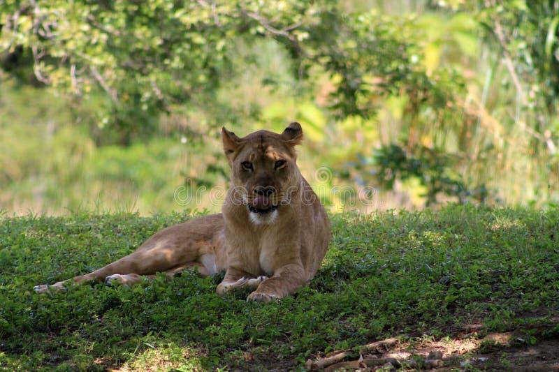 Löwin, die ihre Zunge zeigt lizenzfreies stockfoto