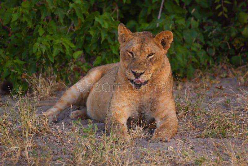 Löwin, die im Schatten an einem heißen Tag sich entspannt lizenzfreie stockfotografie